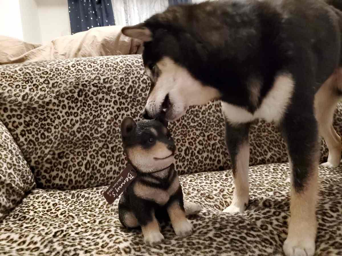 黒豆柴の置物をかじっている犬(うみ)