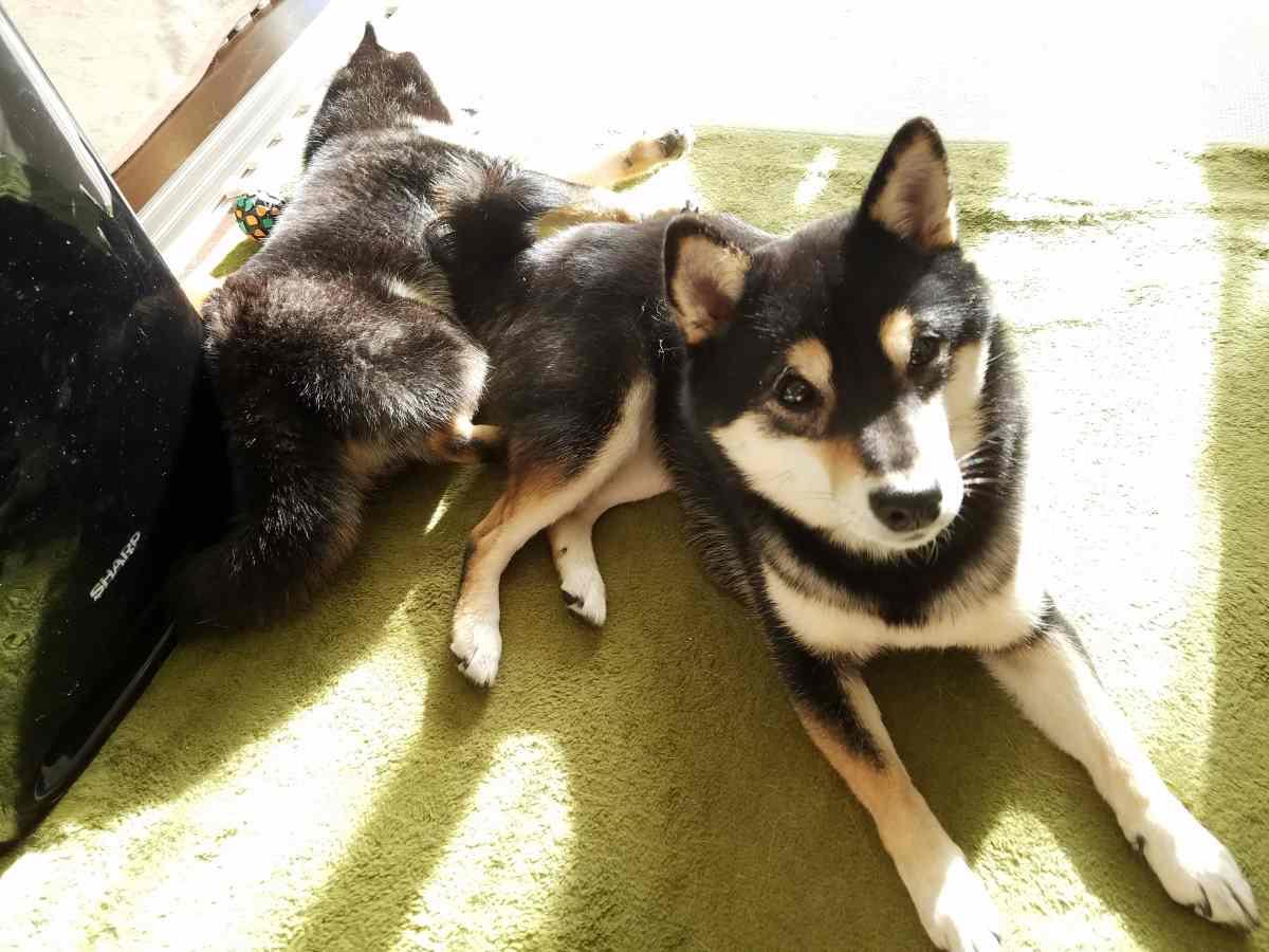 ひなたぼっこをしている2匹の犬