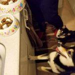 2匹の犬がご飯を待っている
