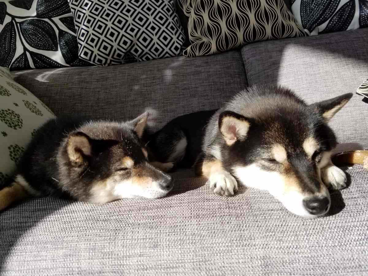 2匹の犬がソファーの上でふせをしている