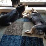 犬(ひめ)と犬(うみ)が隣同士でふせをしている