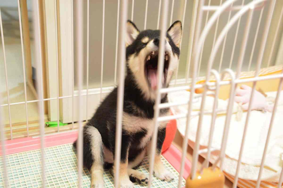 大きなあくびをしている子犬(ひめ)