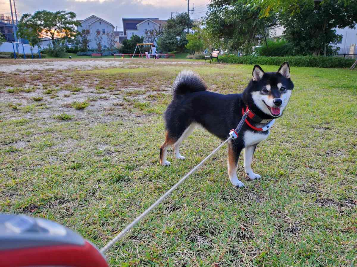 犬(ひめ)が芝生の上で笑顔をみせている