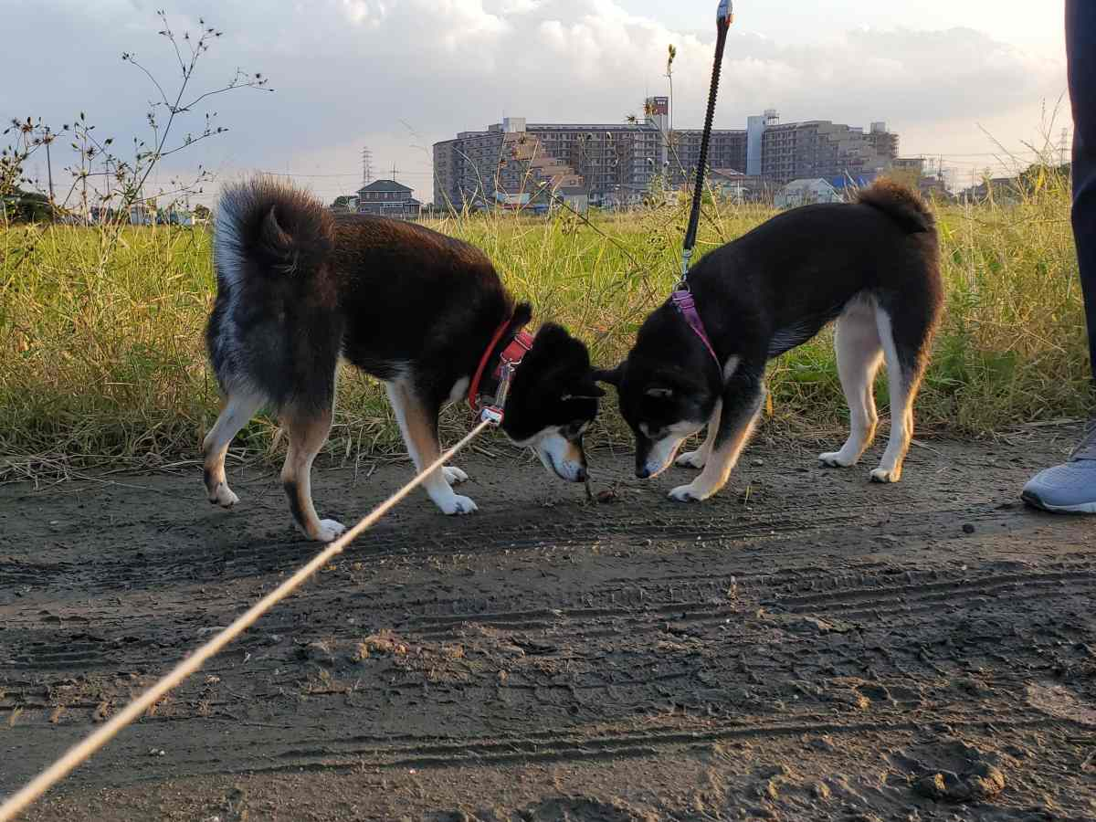 犬(ひめ)と犬(うみ)が一緒ににおいをかいでいる