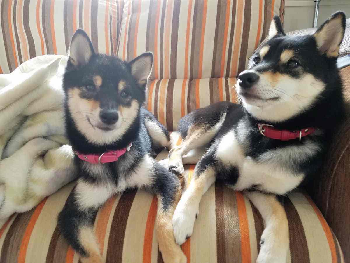2匹の犬がソファーでまったりしている