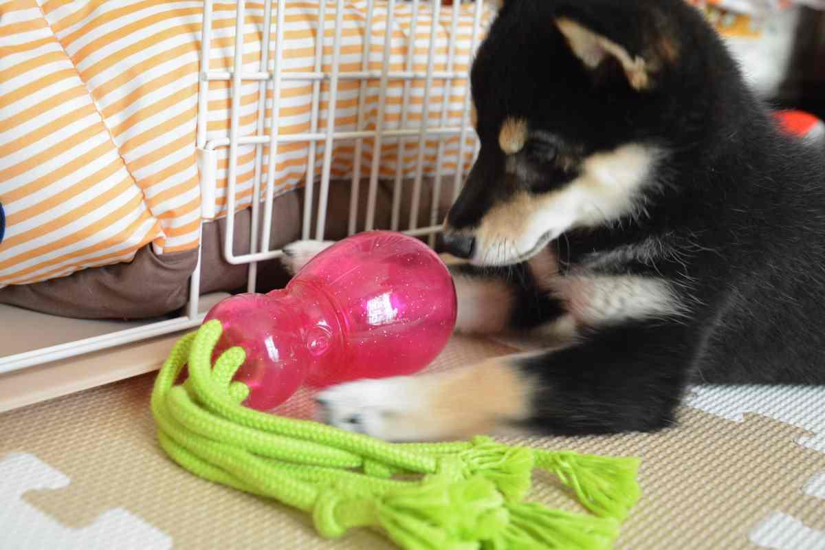 ロープで遊んでいる犬(ひめ)