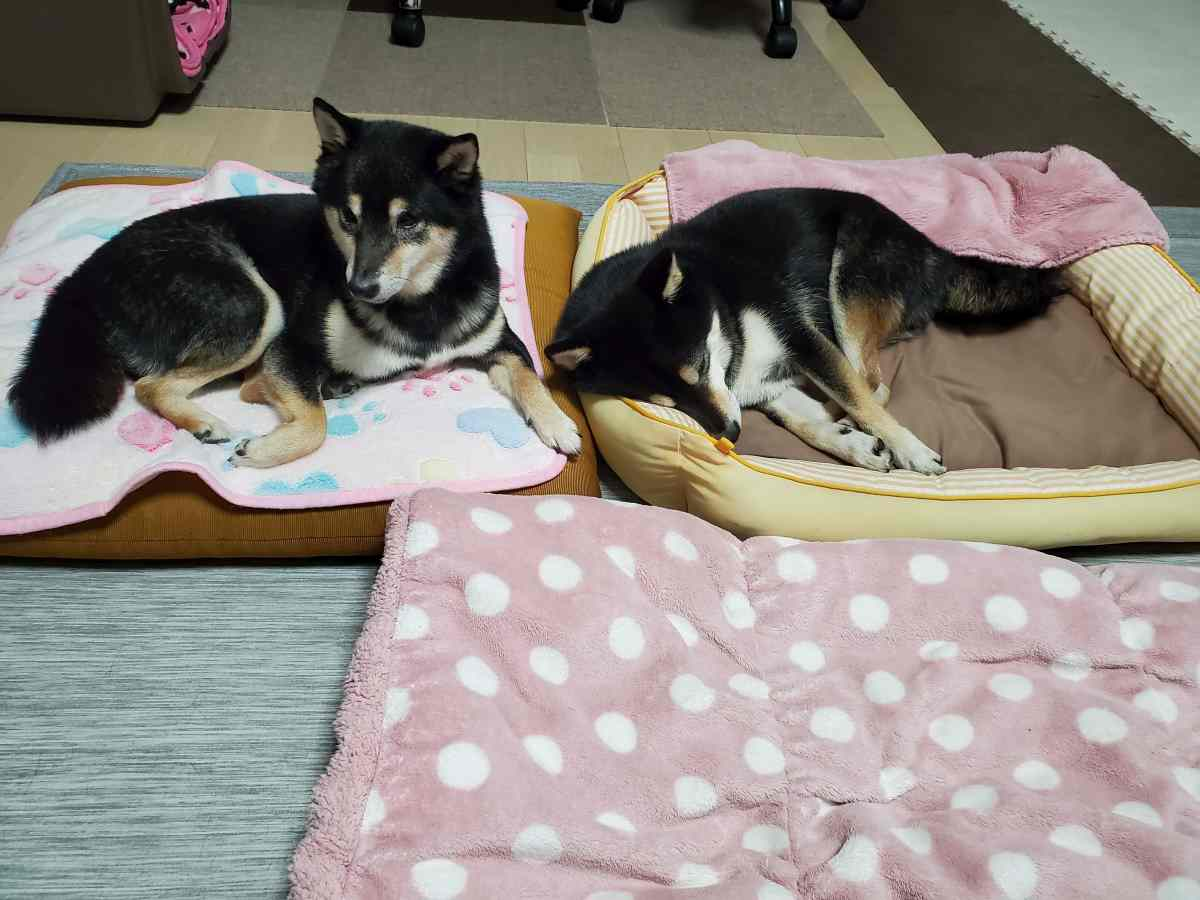 犬(ひめ)と犬(うみ)がくっついて寝そう