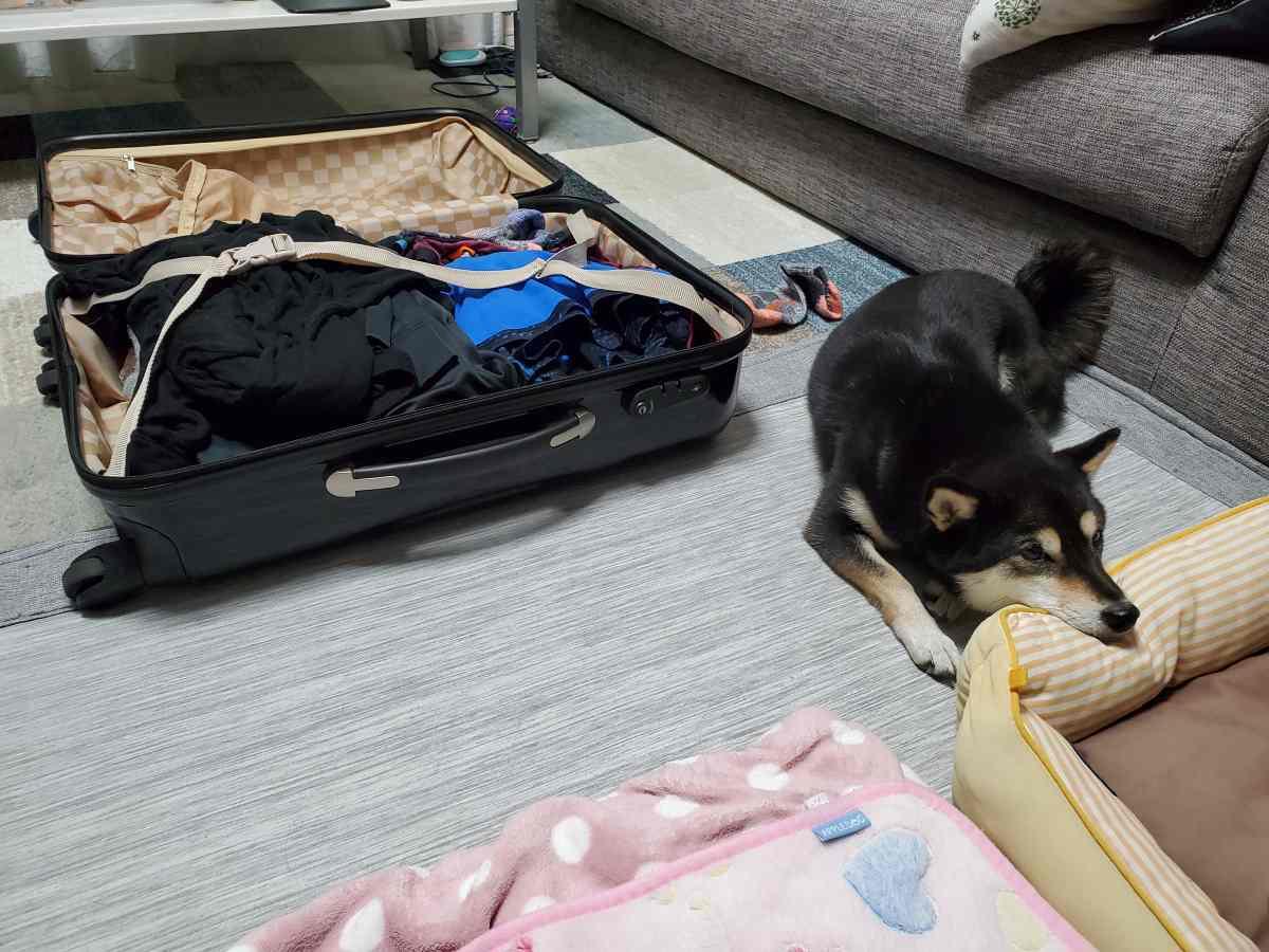 荷造りの隣で犬(ひめ)がふせをしている