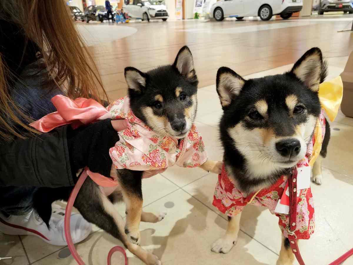 犬(ひめ)と犬(うみ)の晴れ着姿