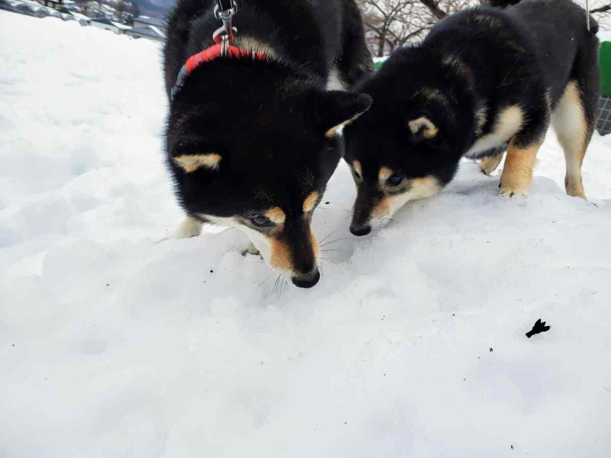 雪の中の匂いを嗅いでいる犬(ひめ)と犬(うみ)