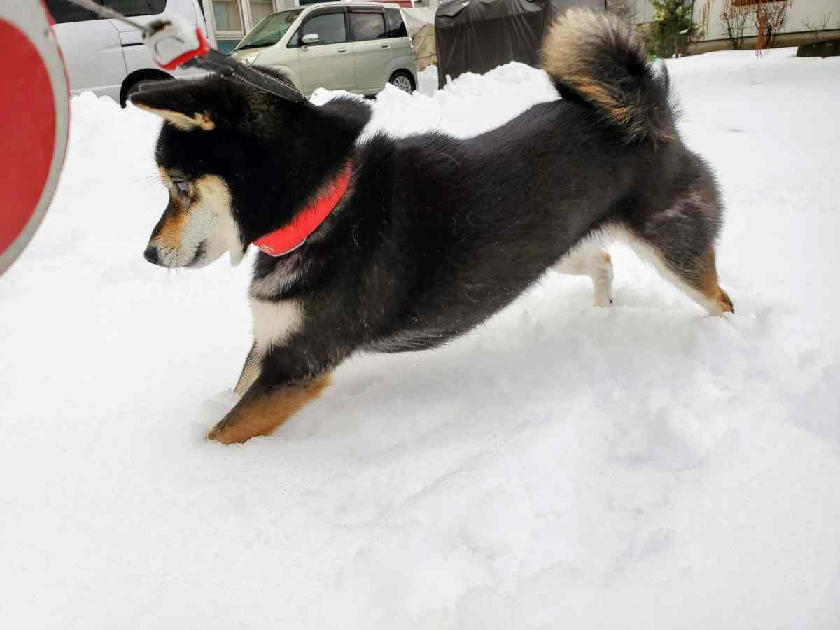 雪に足が入る犬(ひめ)
