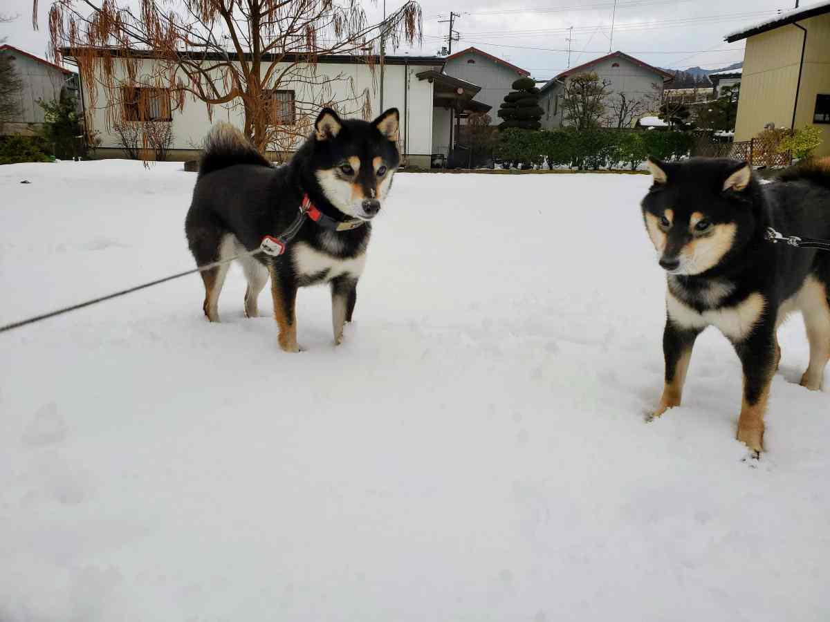 雪の上でこちらを見ている犬(ひめ)と犬(うみ)