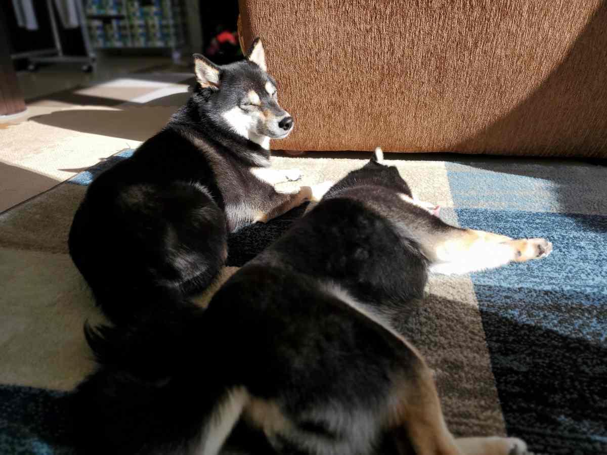 2匹並んで寝ている犬(ひめ)と犬(うみ)