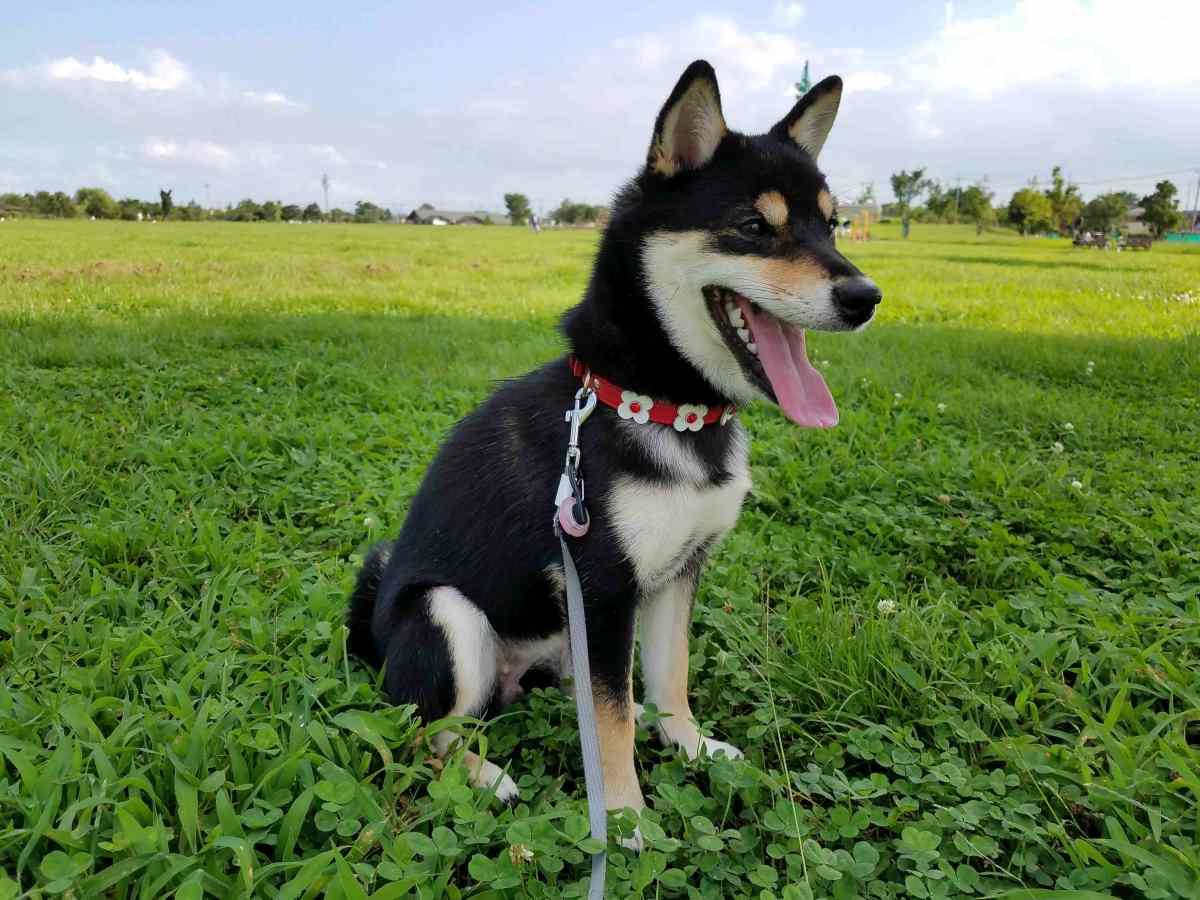 芝生の上でおすわりをしている犬(ひめ)