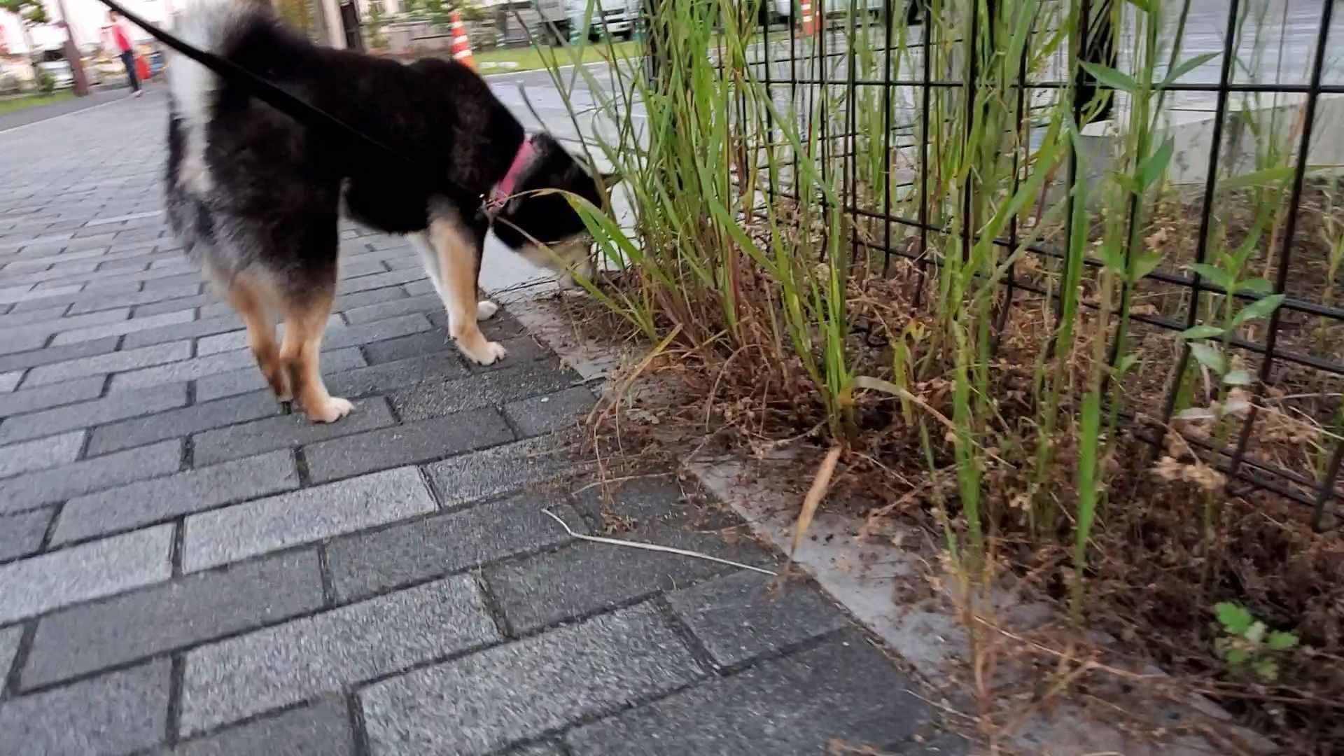 草をクンクンしている犬(うみ)