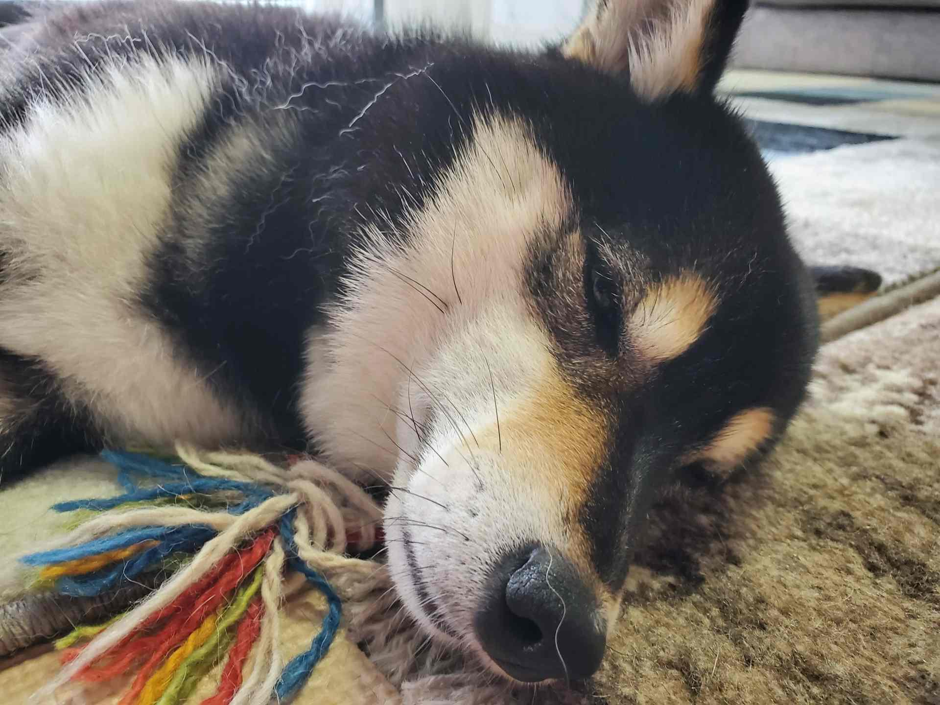 スヤスヤ寝ている犬(ひめ)