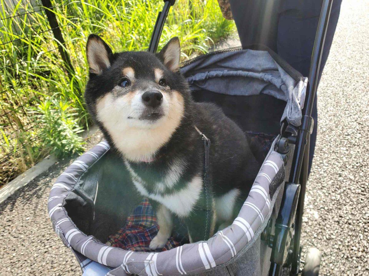 犬用カートに座っている豆柴犬(うみ)