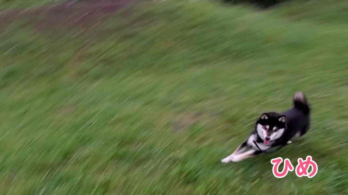 草むらを猛ダッシュしている犬(ひめ)