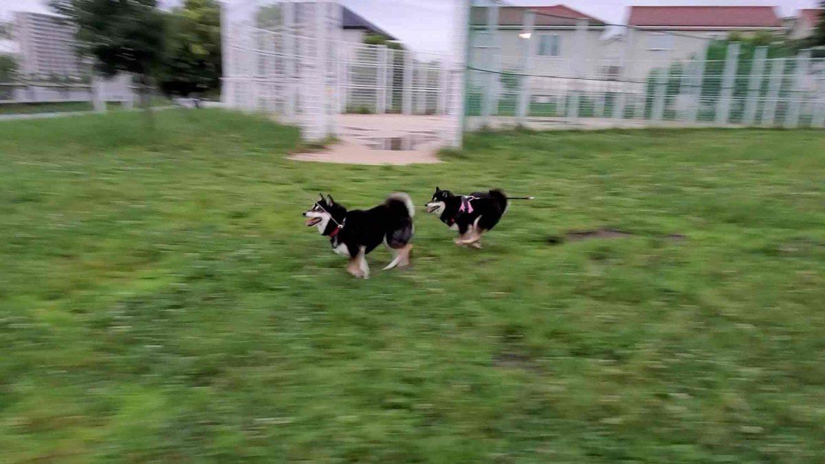 草むらをダッシュしている2匹の犬(ひめうみ)
