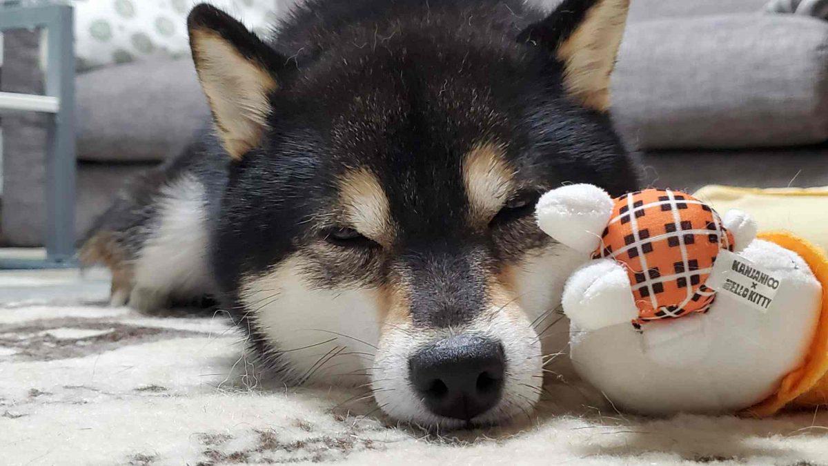 ぬいぐるみに顔をつけて寝ている犬(ひめ)