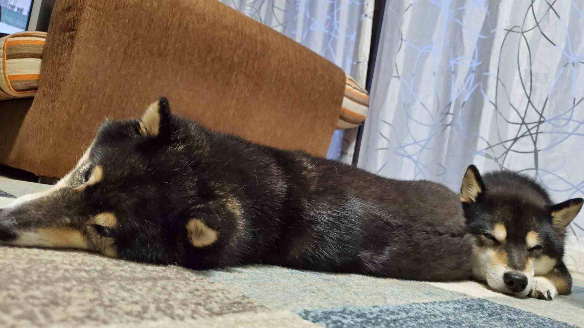 2匹くっついて寝ている犬(ひめうみ)