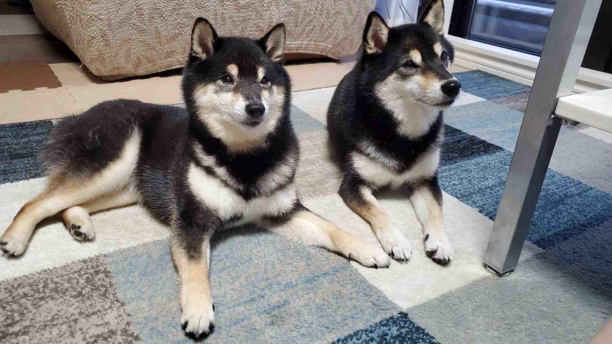 2匹でおやつを待っている犬